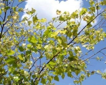 ��������� �  ������ �������� Betula pendula �Golden cloud�