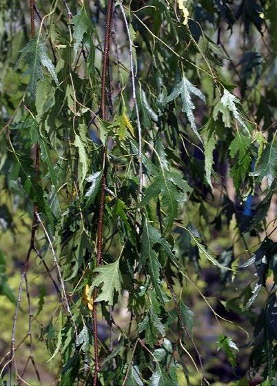 ... деревья и кустарники, розы и садовые: www.rastenya.com/cat/items/Betula-pendula-Gracilis.php