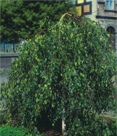 Береза повислая betula pendula youngii фото