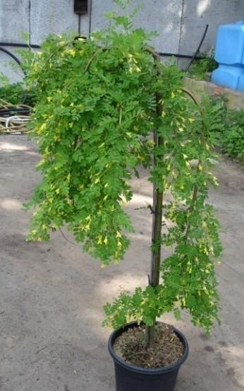 Карагана древовидная caragana arborescens