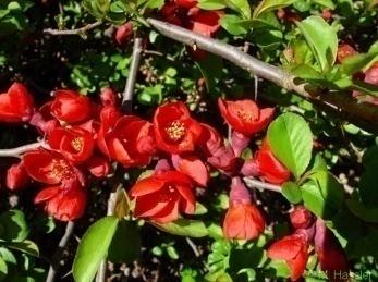 Айва японская chaenomeles japonica фото