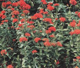 Лихнис горицвет халцедонский lychnis