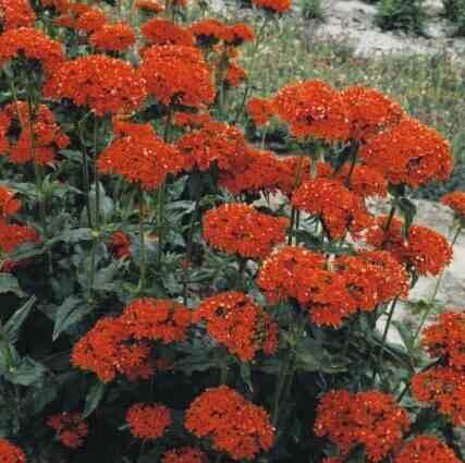 Лихнис красный lychnis rutilus фото