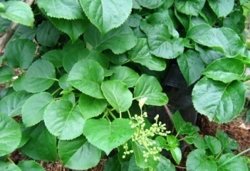 Гортензия черешковая hydrangea petiolaris