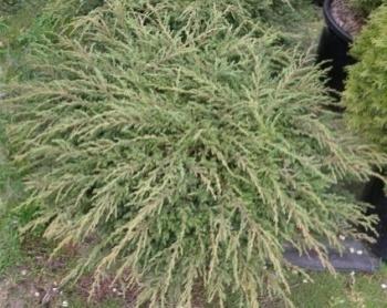 Обыкновенный juniperus communis repanda фото