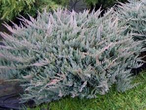 Можжевельник горизонтальный juniperus