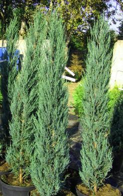 """Можжевельник скальный juniperus scopulorum """"blue"""