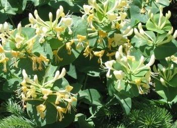 http://www.rastenya.com/cms-images/goods/Lonicera-caprifolium.jpg