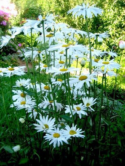 Ромашка садовая нивяник matricaria фото