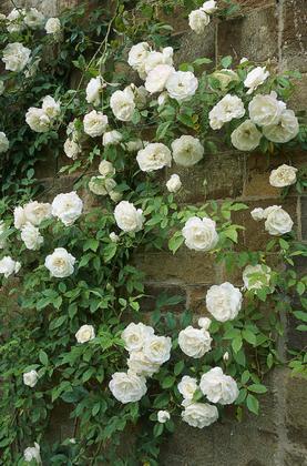 Роза плетистая rosa climbing фото