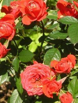 Роза группы флорибунда rosa floribunda фото