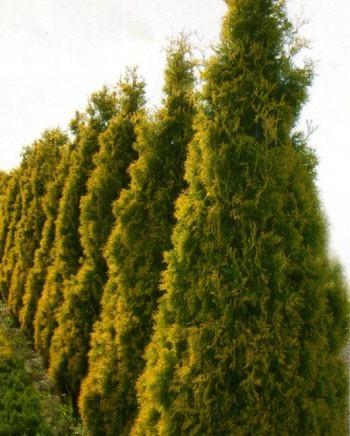 Туя западная thuja occidentalis aurescens фото туя