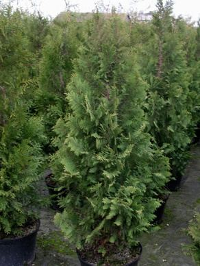 Туя западная thuja occidentalis brabant фото туя