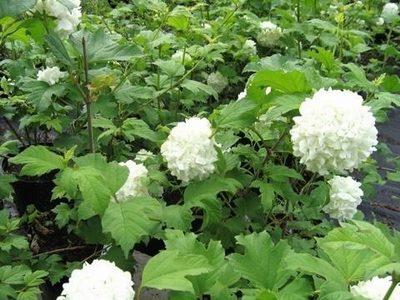 "Калина обыкновенная viburnum opulus ""roseum"