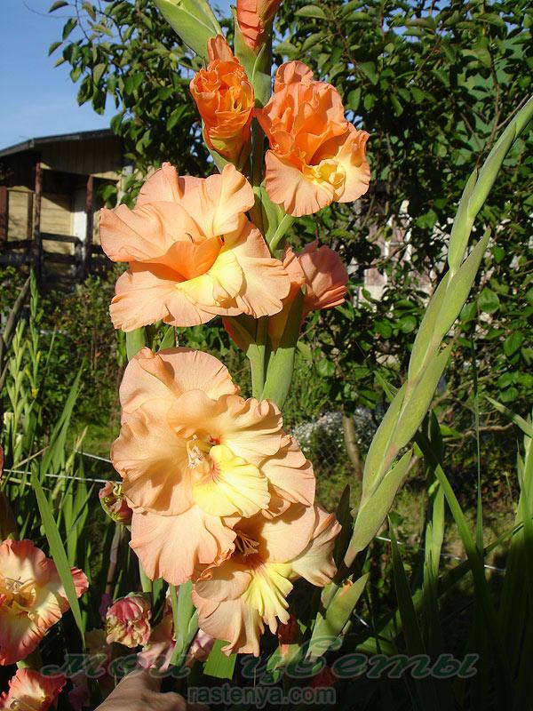 палевые розы фото