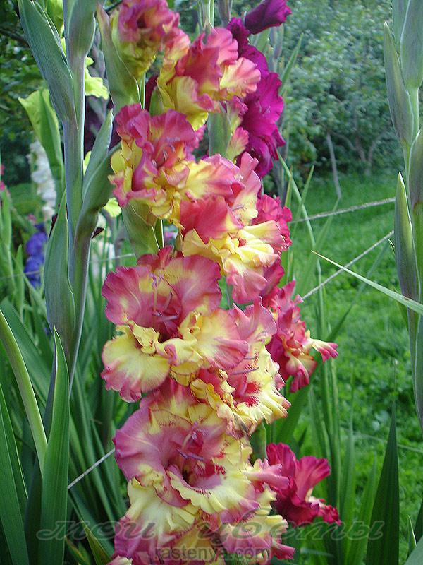 Амброзия фото растения крупным планом цветы
