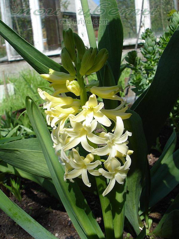Другие многолетние цветы гипсофила