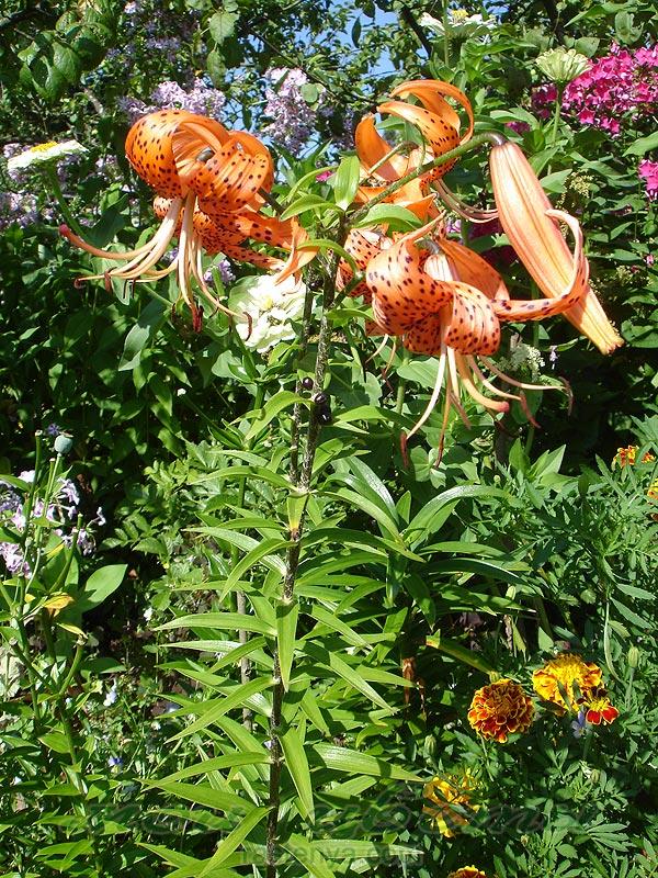 Лилии тигровые - Цветы и растения для дома, сада и дачи