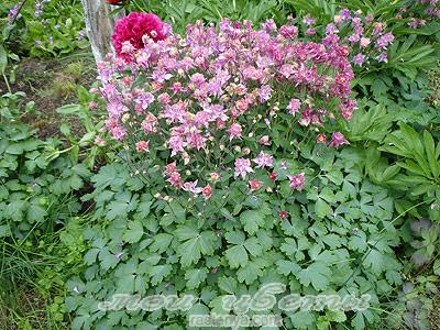 Аквилегия водосбор фото цветов
