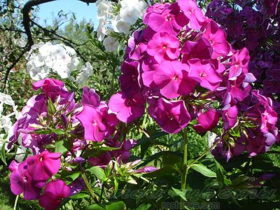 Флокс метельчатый тенор phlox paniculata tenor