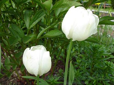 Тюльпан white parrot фотографии